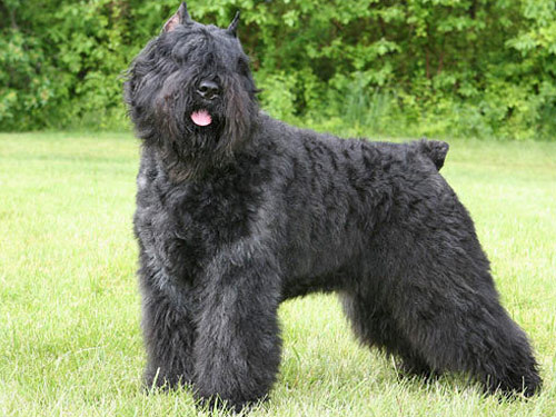 Bouvier Des Flandres The Annotated Gilmore Girls